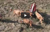Accompagnez les chèvres en balade sur le chemin des Templiers